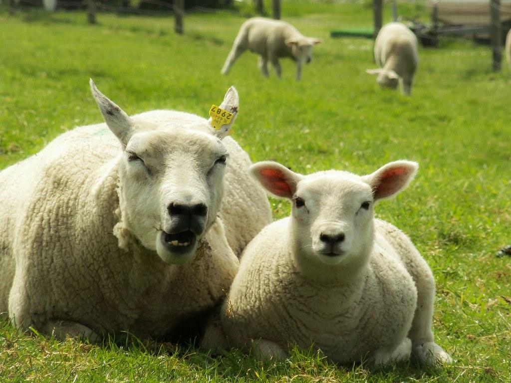 schapen Elfstedentocht route